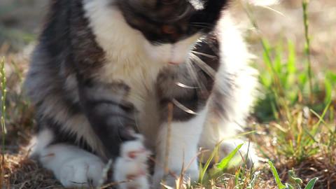 Cat playing with hunted locust Stock Video Footage