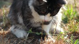 Cat playing with hunted locust Footage