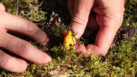 yellow chanterelle Stock Video Footage
