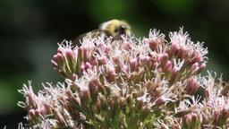 Bee on a Leaf Footage