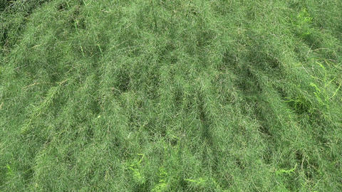 green asparagus plant background in wind, nature background Footage