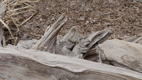 Lizard reptile masking on the wood Live Action
