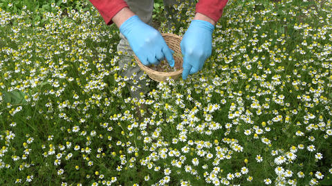 herbalist with blue protective glove picking medical chamomile flowers Footage