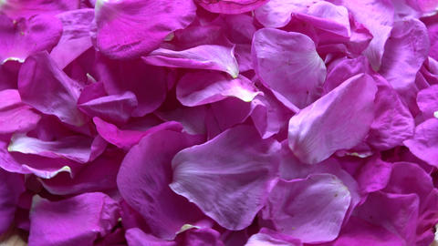 Fresh dogrose wild rose petals falling on rotating background Footage