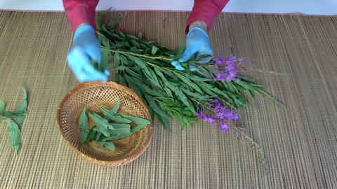 Herbalist picking leaves from fireweed Epilobium angustifolium for medical tea Live Action