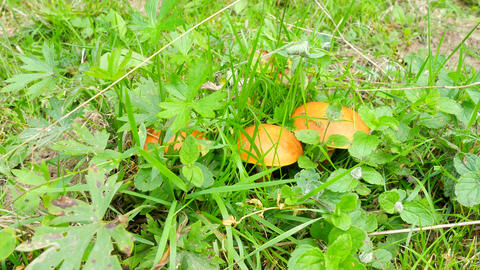 Man hands cut and clean mushroom Larch Bolete (Suillus grevillei) growing in mea Footage