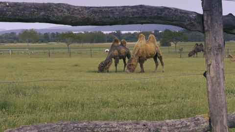 Two camels eating grass Footage