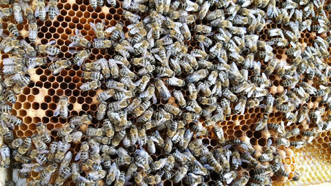 Dozens of bees on honeycomb Footage