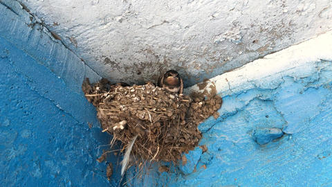 Swallow with chicks in the nest Footage