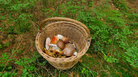 From the top shot of hand placing boleti mushrooms in wicker basket. The mushroo Footage