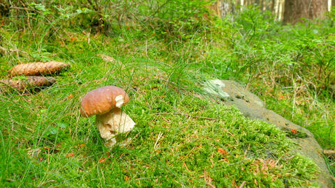 Picking white mushroom in the forest grass, close wide view. Hands cut and picki Footage