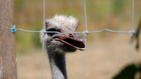 Motion of baby ostrich watching people inside a farm with 4k resolution Footage
