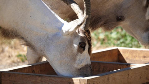 Slow motion of scimitar horned oryx eating food inside a farm Footage