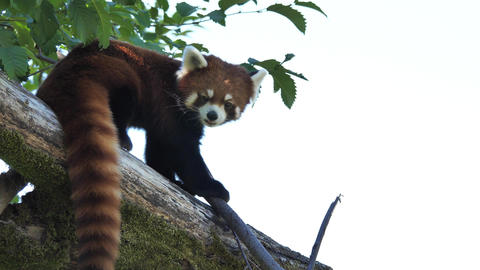 Motion of red panda is watching people on the tree with 4k resolution Footage