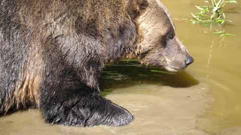 Slow motion of brown bear finding food in the pond Live Action