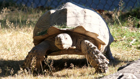 Motion of African spurred tortoise moving on grass with 4k resolution Live Action