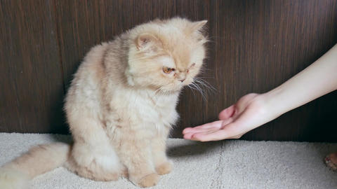 Persian cat shaking hand with people with 4k resolution Footage