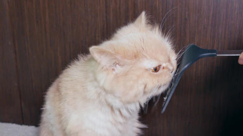 Woman feeding hairball paste for cat with 4k resolution Footage