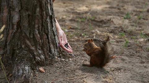 Squirrel eats sunflower seeds Footage
