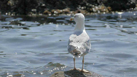 Seagull Sitting On Seaweed Rock In Front Of Ocean Water Slow Motion Footage
