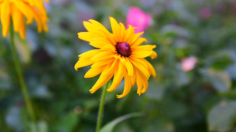 Flowering bud Rudbeckia, top view Live Action