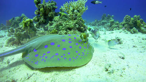 Blue Spotted Stingray on Coral Reef Footage