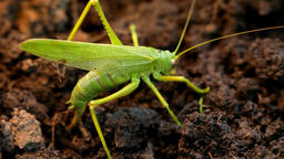 Big green grasshopper lays her eggs in the soil ビデオ