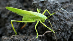 Big green grasshopper lays her eggs in the soil Filmmaterial