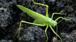 Big green grasshopper lays her eggs in the soil Footage