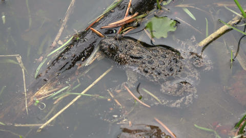 Rare protected European Fire-bellied Toad in spring pond Live Action