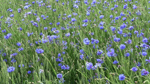 Wind in wheat field with many blue cornflowers, agriculture background Footage