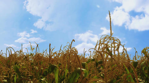 Cinemagraph of corn field with moving white clouds on blue sky Archivo