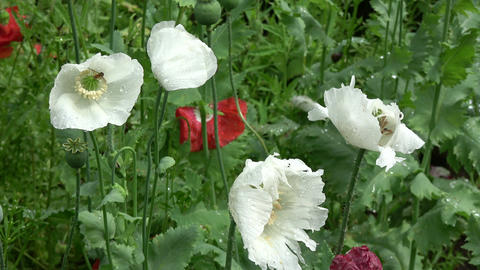 White and red summer poppies in wind Footage