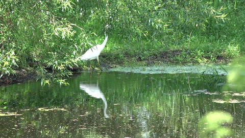 Beautiful great white heron Egretta alba on lake coast Footage