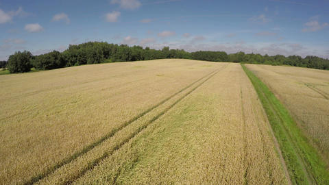 Ripe wheat field landscape from drone, aerial view Footage