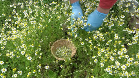 Gardener hands picking fresh chamomile medical flowers Footage