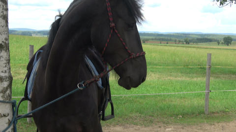 Friesian horse in nature by the tree Footage