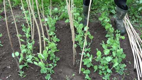 Gardener dig wooden sticks for young peas sprouts in spring Footage