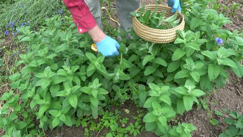 Gardener herbalist picking medical mint plants Footage