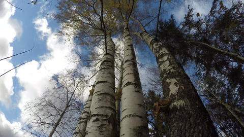 Beautiful majestic birch tree trunks in autumn wind, time lapse Footage
