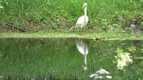 great white heron Egretta alba hunting on lake coast Footage