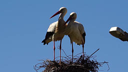 Stork pair in their nest Footage