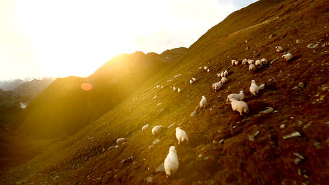 Flock of sheep group of white sheep herd of animals aerial view landscape Footage