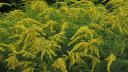 Yellow Solidago virgaurea flower in summer garden blooming Footage