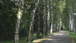 Alley of birch trees and way. Birch alley in the park. Alley with birch trees in Footage