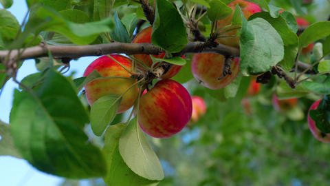 Picking red apple from a tree in summer Footage