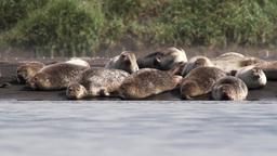 Flock Of Seals stock footage