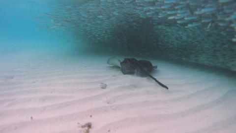 Big stingray hunting small fishes 50fps Footage