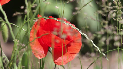Close-up red poppies and herbs in the wind. Red flower that grows on roadsides f Footage
