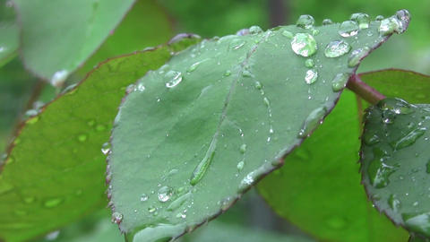 After a heavy rain spring rain drops on the leaves are beautiful, clear as a whi Footage